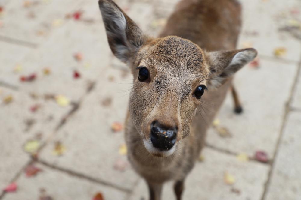 Coronavirus, i cervi di Nara soffrono la fame a causa dell'assenza di turisti