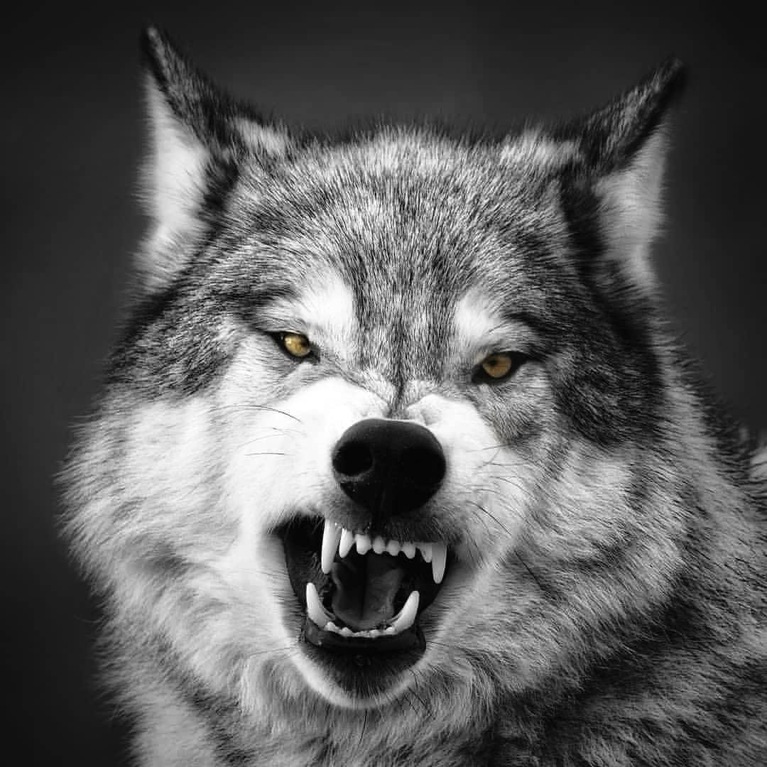 Donna sbranata in casa da 5 lupi cecoslovacchi