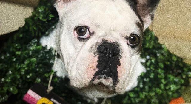 Cani di Lady Gaga trovati legati ad un palo, la cantante offre cure ospedaliere al dog-sitter ferito