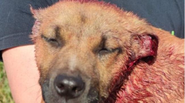 """Bambini di 9 e 10 anni tagliano le orecchie a un cucciolo di cane randagio, mutilandolo. La zia: """"Volevano farlo più bello"""""""
