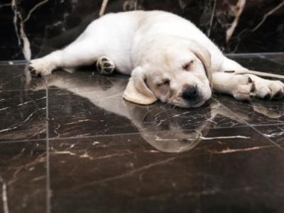 Gesto crudele, investe e uccide cucciolo di Labdrador dei vicini per vendetta dopo un litigio: denunciato, rischia il carcere