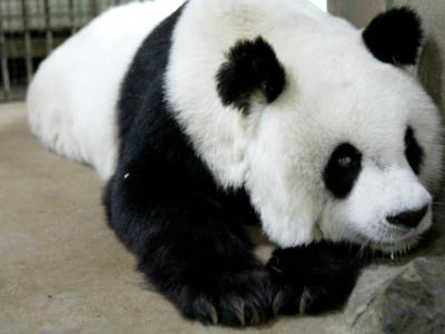 I panda non sono più a rischio estinzione: nel mondo ne vivono 1.800 esemplari