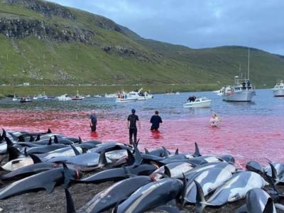 """Isole Faroe, si rinnova la triste tradizione: 1500 delfini massacrati. """"Mai vista una mattanza così"""""""